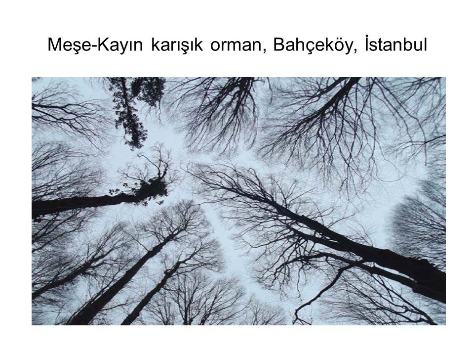 Meşe-Kayın karışık orman, Bahçeköy, İstanbul