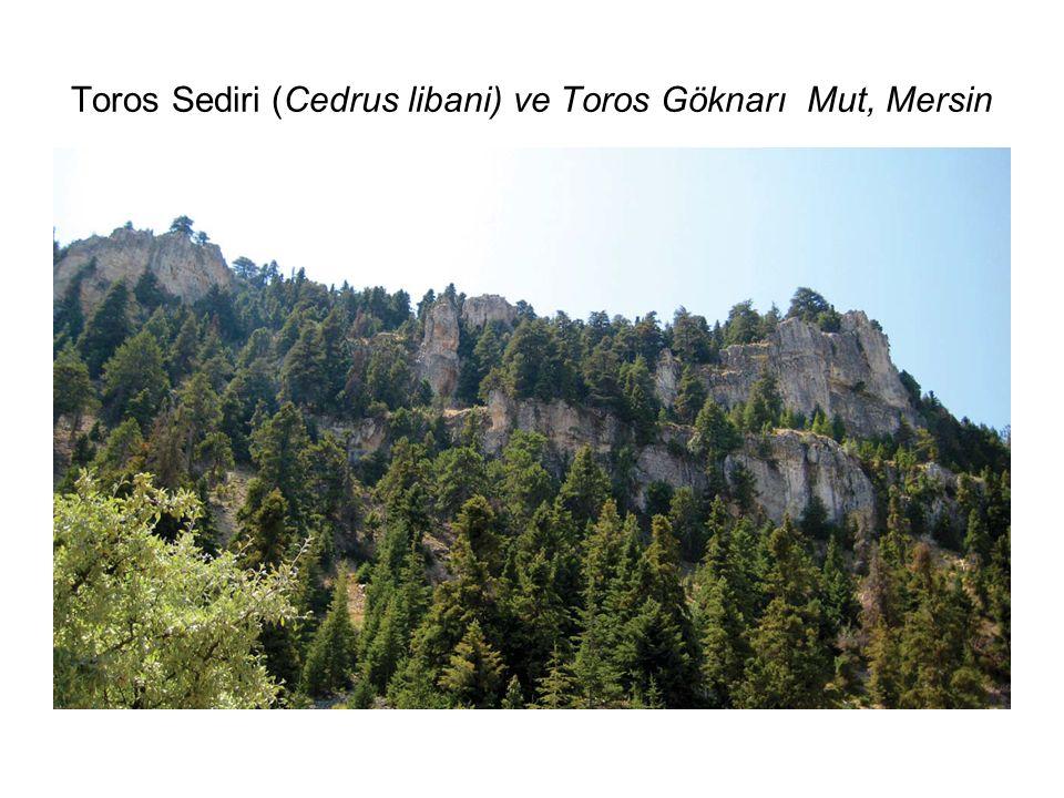 Toros Sediri (Cedrus libani) ve Toros Göknarı Mut, Mersin