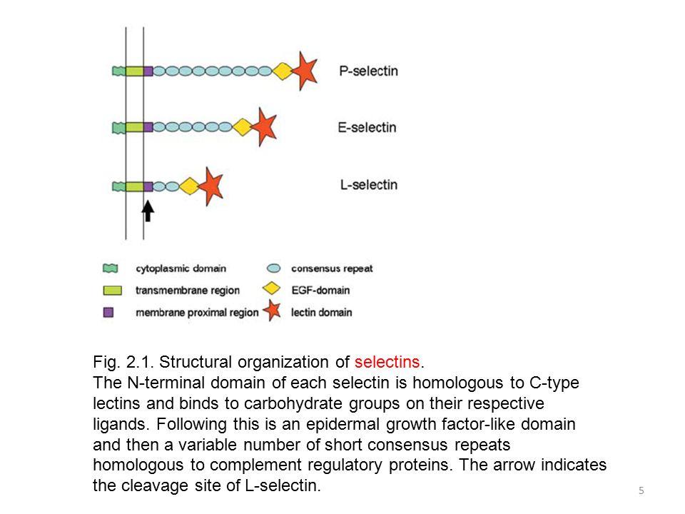 6 Fig.2.2. Shedding of L-selectin by leukocytes.