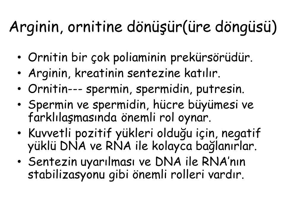 Arginin, ornitine dönüşür(üre döngüsü) Ornitin bir çok poliaminin prekürsörüdür. Arginin, kreatinin sentezine katılır. Ornitin--- spermin, spermidin,