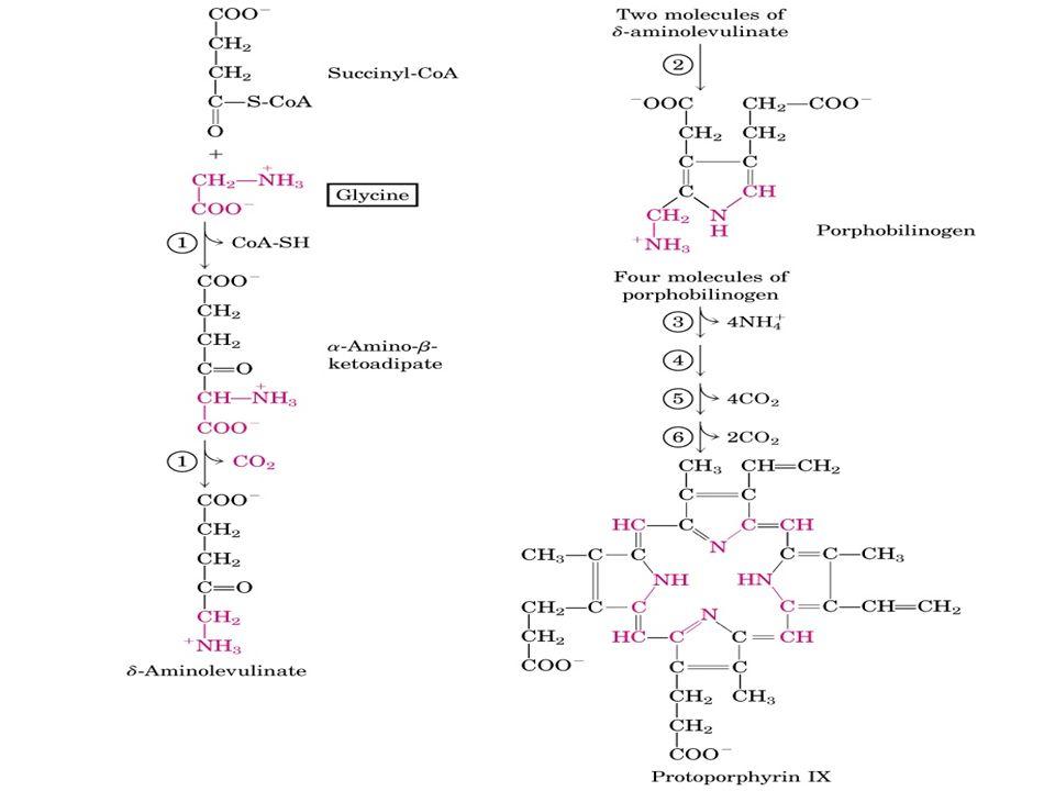 GLİSİN Pürin nükleotidlerinin sentezine, glisin molekülünün tamamı katılır.