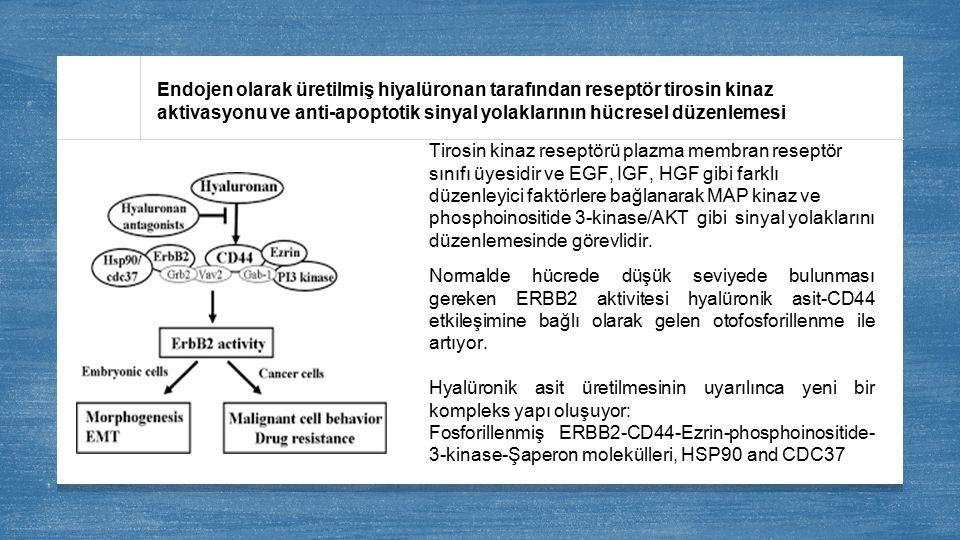 Endojen olarak üretilmiş hiyalüronan tarafından reseptör tirosin kinaz aktivasyonu ve anti-apoptotik sinyal yolaklarının hücresel düzenlemesi Tirosin