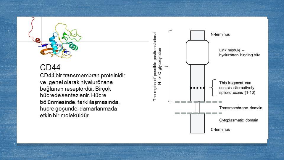 CD44 CD44 bir transmembran proteinidir ve genel olarak hiyalurönana bağlanan reseptördür. Birçok hücrede sentezlenir. Hücre bölünmesinde, farklılaşmas