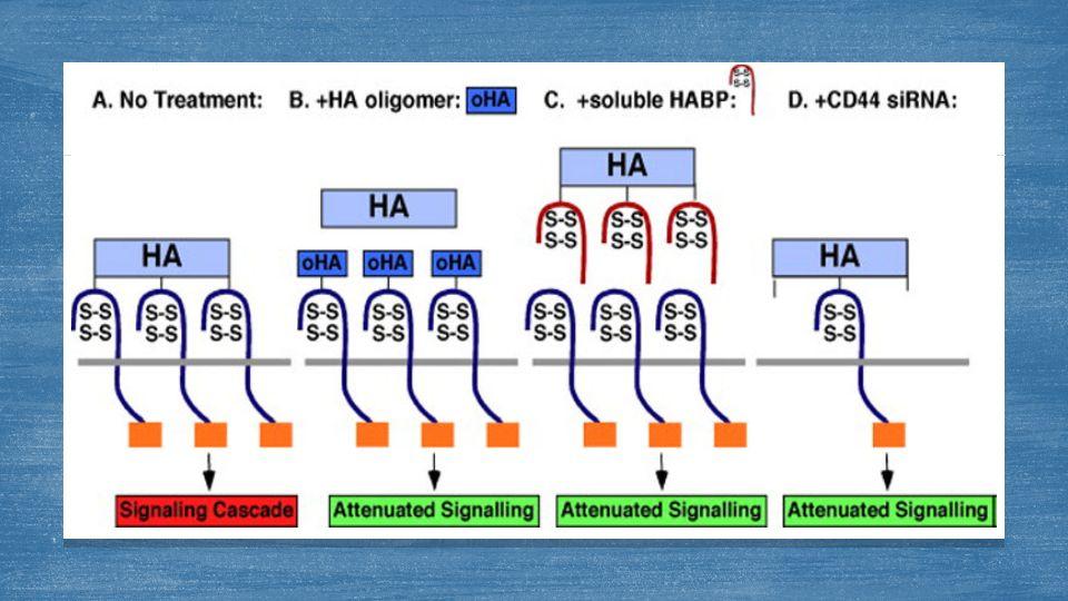 1-Küçük ağırlıklı hyaluronik asit anjiyogenezi uyarırken yüksek ağırlıklı olanlar inhibe edici etki gösterir 2-Hyaluronik asit artışı tümör ilerlemesini teşvik ederken çok fazla hiyalüronan üretimi inhibe edici özellik gösterir.