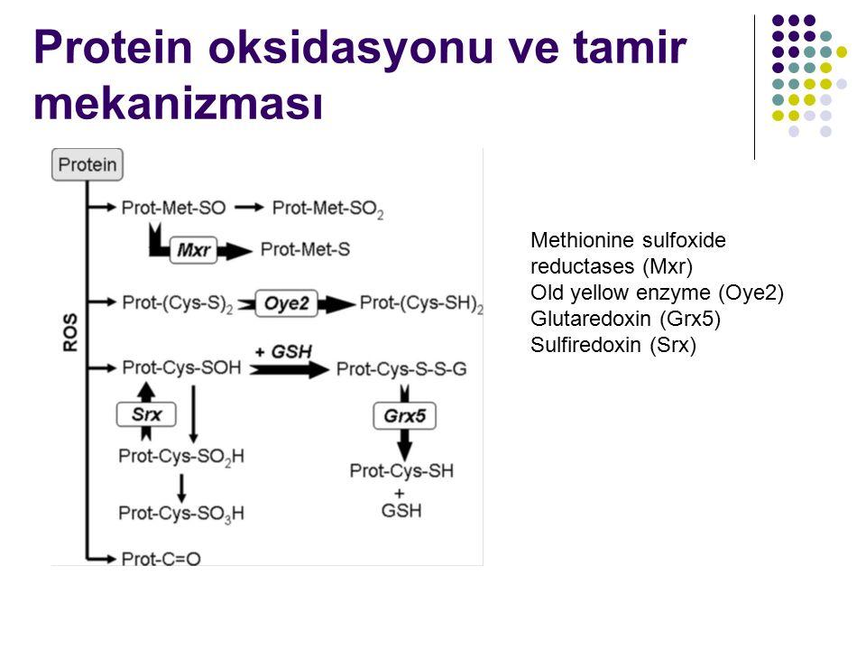 Protein oksidasyonu ve tamir mekanizması Methionine sulfoxide reductases (Mxr) Old yellow enzyme (Oye2) Glutaredoxin (Grx5) Sulfiredoxin (Srx)