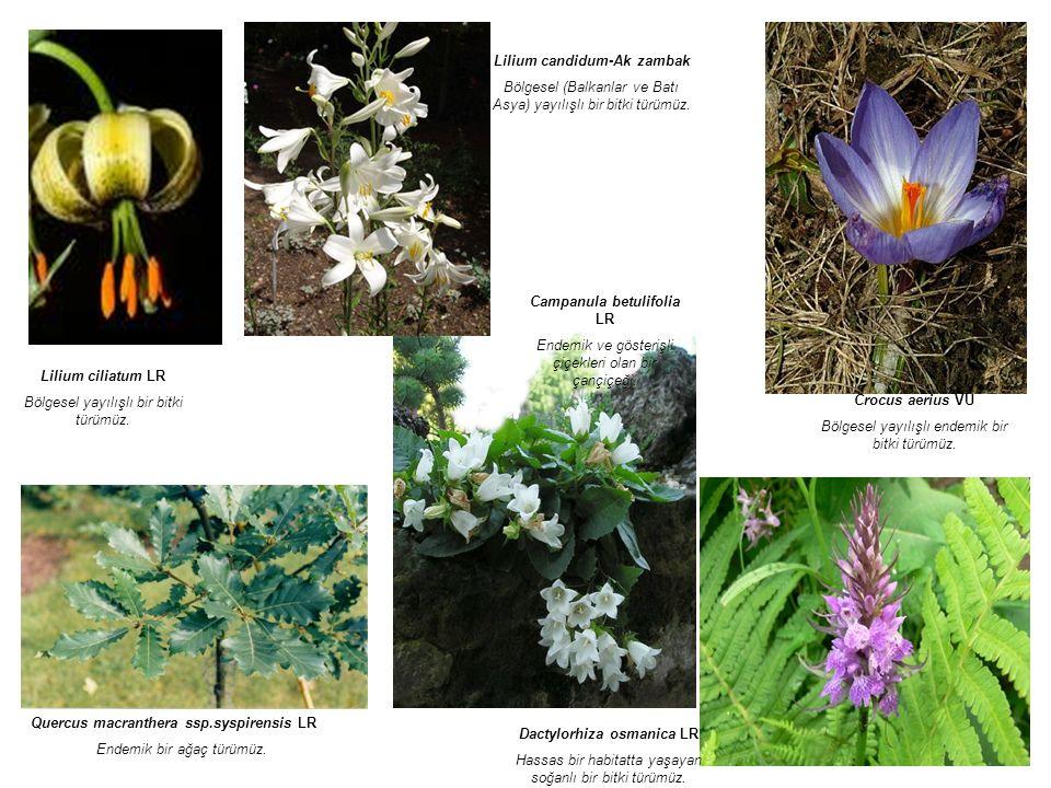 Campanula betulifolia LR Endemik ve gösterişli çiçekleri olan bir çançiçeği.