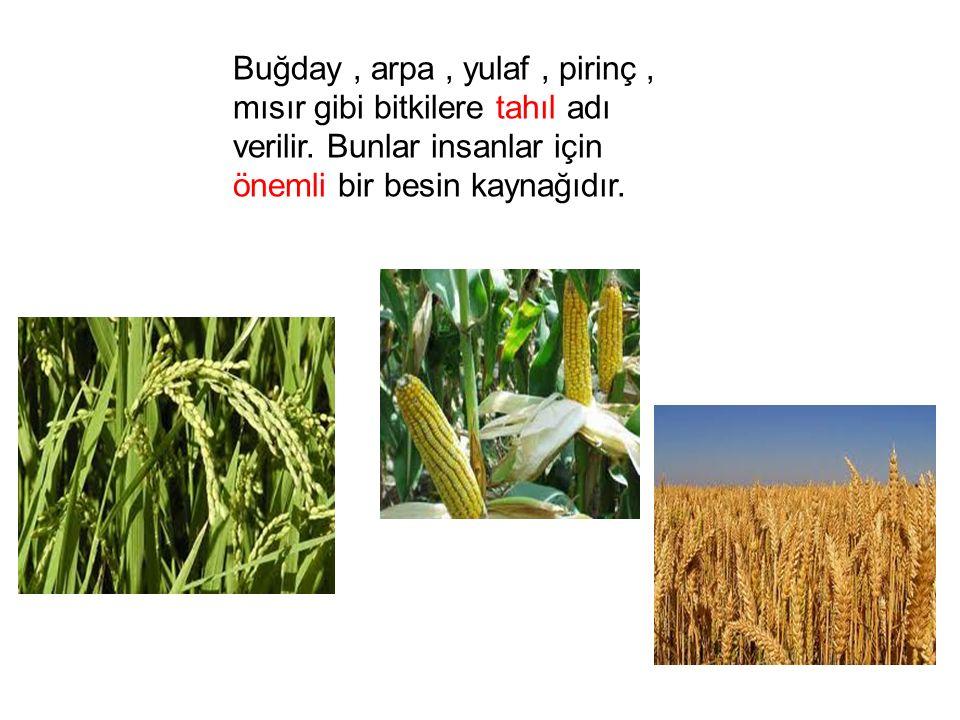 Buğday, arpa, yulaf, pirinç, mısır gibi bitkilere tahıl adı verilir. Bunlar insanlar için önemli bir besin kaynağıdır.