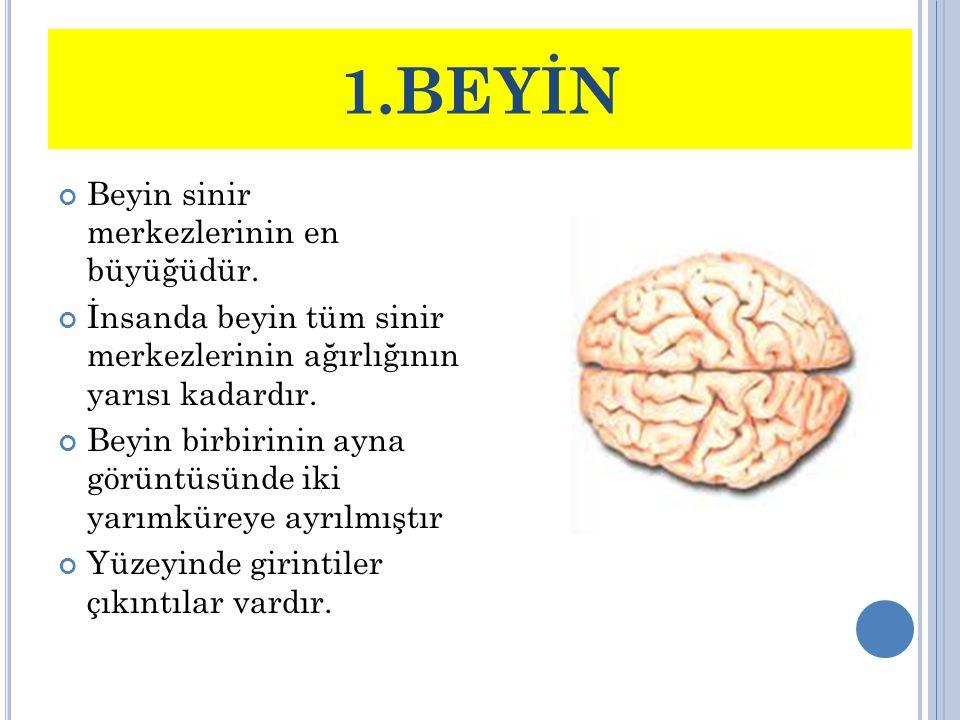 1.BEYİN Beyin sinir merkezlerinin en büyüğüdür. İnsanda beyin tüm sinir merkezlerinin ağırlığının yarısı kadardır. Beyin birbirinin ayna görüntüsünde