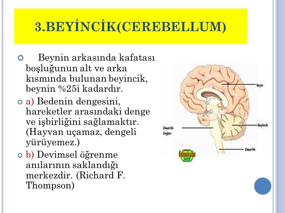 3.BEYİNCİK(CEREBELLUM) Beynin arkasında kafatası boşluğunun alt ve arka kısmında bulunan beyincik, beynin %25i kadardır. a) Bedenin dengesini, hareket