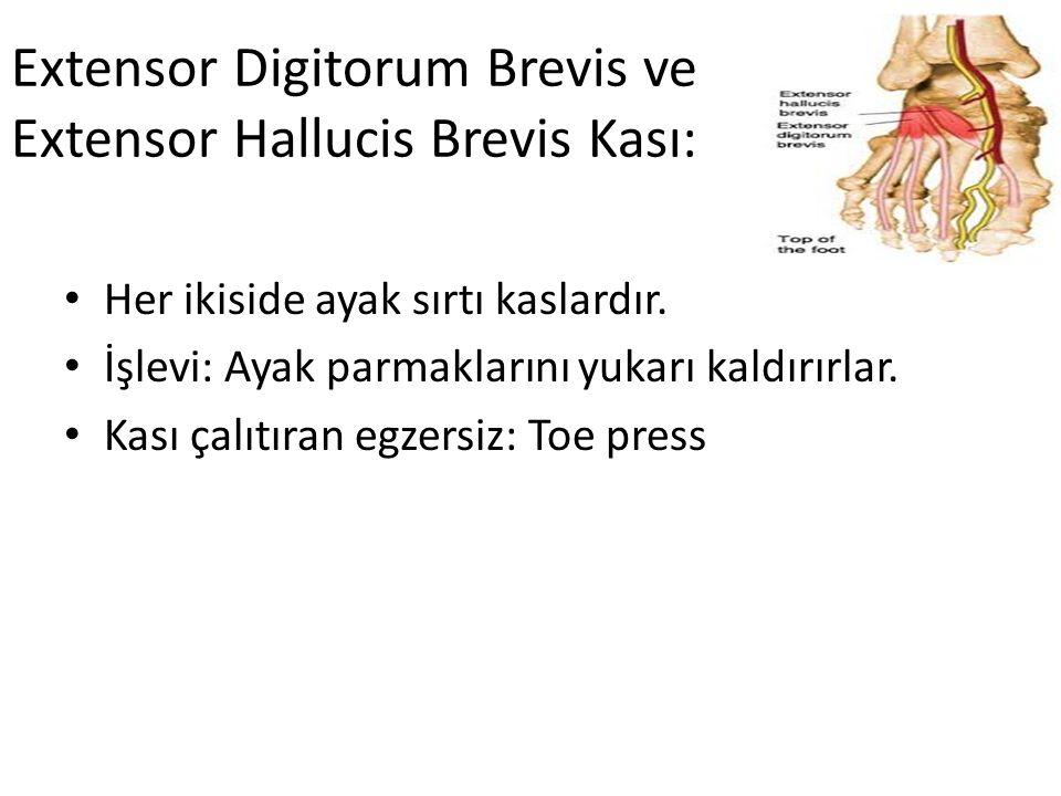 Extensor Digitorum Brevis ve Extensor Hallucis Brevis Kası: Her ikiside ayak sırtı kaslardır. İşlevi: Ayak parmaklarını yukarı kaldırırlar. Kası çalıt
