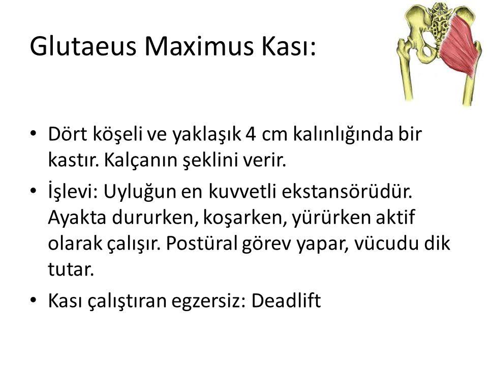 Glutaeus Maximus Kası: Dört köşeli ve yaklaşık 4 cm kalınlığında bir kastır. Kalçanın şeklini verir. İşlevi: Uyluğun en kuvvetli ekstansörüdür. Ayakta