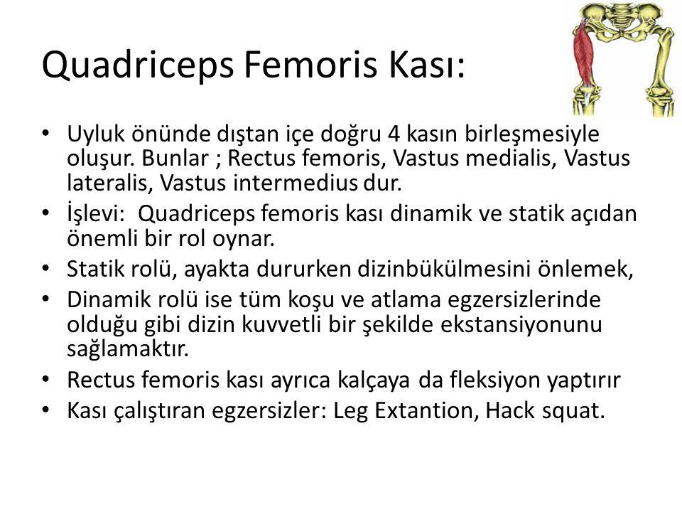 Quadriceps Femoris Kası: Uyluk önünde dıştan içe doğru 4 kasın birleşmesiyle oluşur. Bunlar ; Rectus femoris, Vastus medialis, Vastus lateralis, Vastu