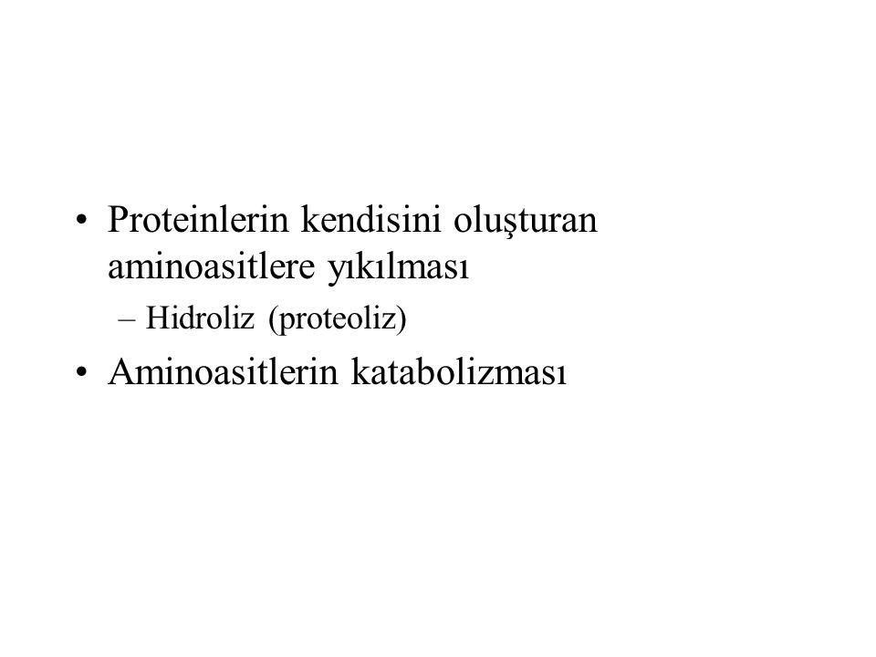 PROTEİNLERİN SİNDİRİMİ Proteoliz: aminoasitler arasındaki peptid bağının hidrolizi = protein sindirimi Proteazlar: protein sindirimini gerçekleştiren enzimler –Ekzopeptidazlar Karboksi peptidazlar Amino peptidazlar –Endopeptidazlar