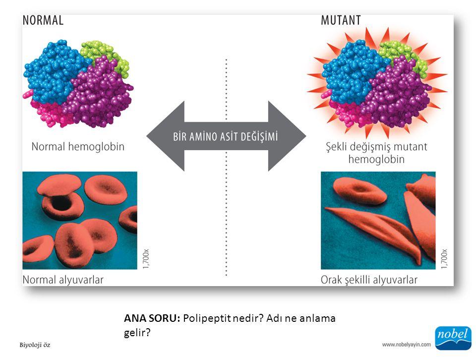ANA SORU: Polipeptit nedir? Adı ne anlama gelir?