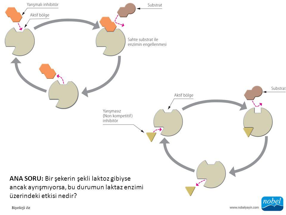 ANA SORU: Bir şekerin şekli laktoz gibiyse ancak ayrışmıyorsa, bu durumun laktaz enzimi üzerindeki etkisi nedir?