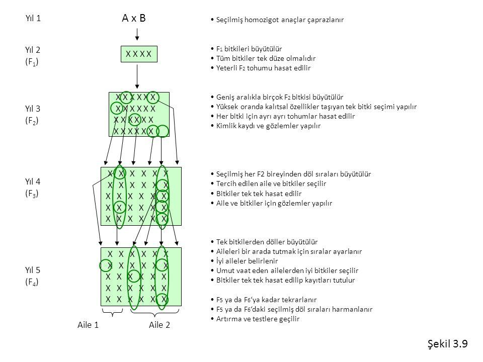 A x B X X X X X X X X X X X X X X X X X X X X Yıl 1 Yıl 2 (F 1 ) Yıl 3 (F 2 ) Yıl 4 (F 3 ) Yıl 5 (F 4 ) X X X X X X X X X Aile 1Aile 2 Seçilmiş homozi
