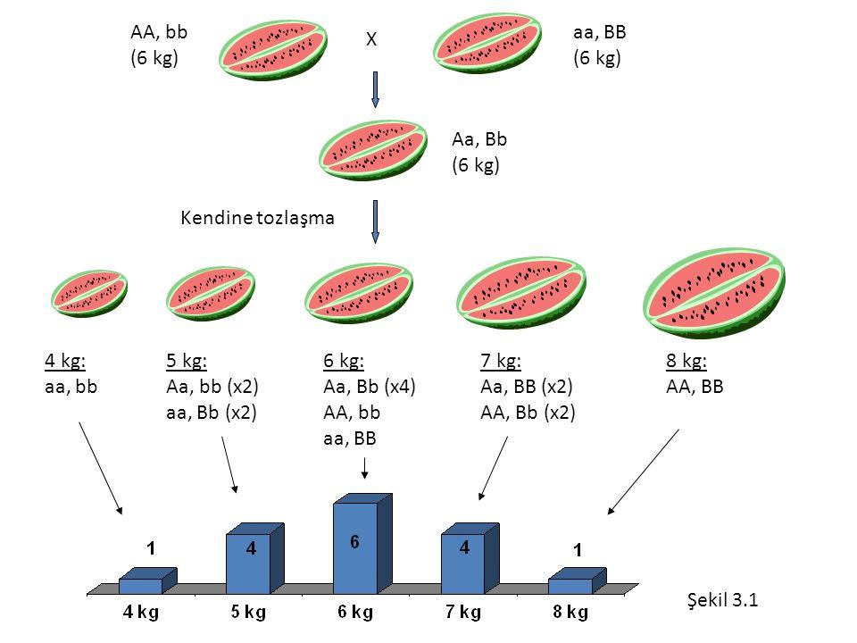 AA, bb (6 kg) aa, BB (6 kg) X Aa, Bb (6 kg) Kendine tozlaşma 4 kg: aa, bb 5 kg: Aa, bb (x2) aa, Bb (x2) 6 kg: Aa, Bb (x4) AA, bb aa, BB 7 kg: Aa, BB (