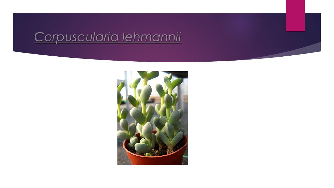Corpuscularia lehmannii Corpuscularia lehmannii