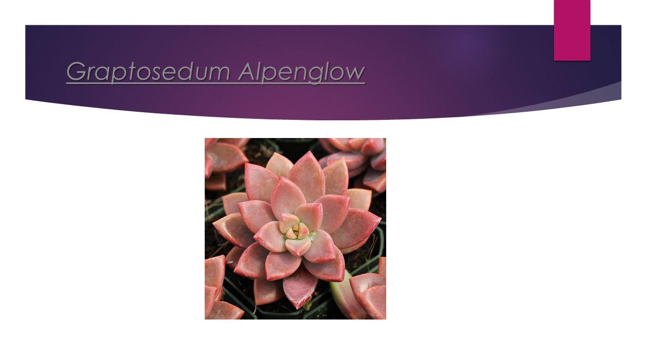 Graptosedum Alpenglow Graptosedum Alpenglow