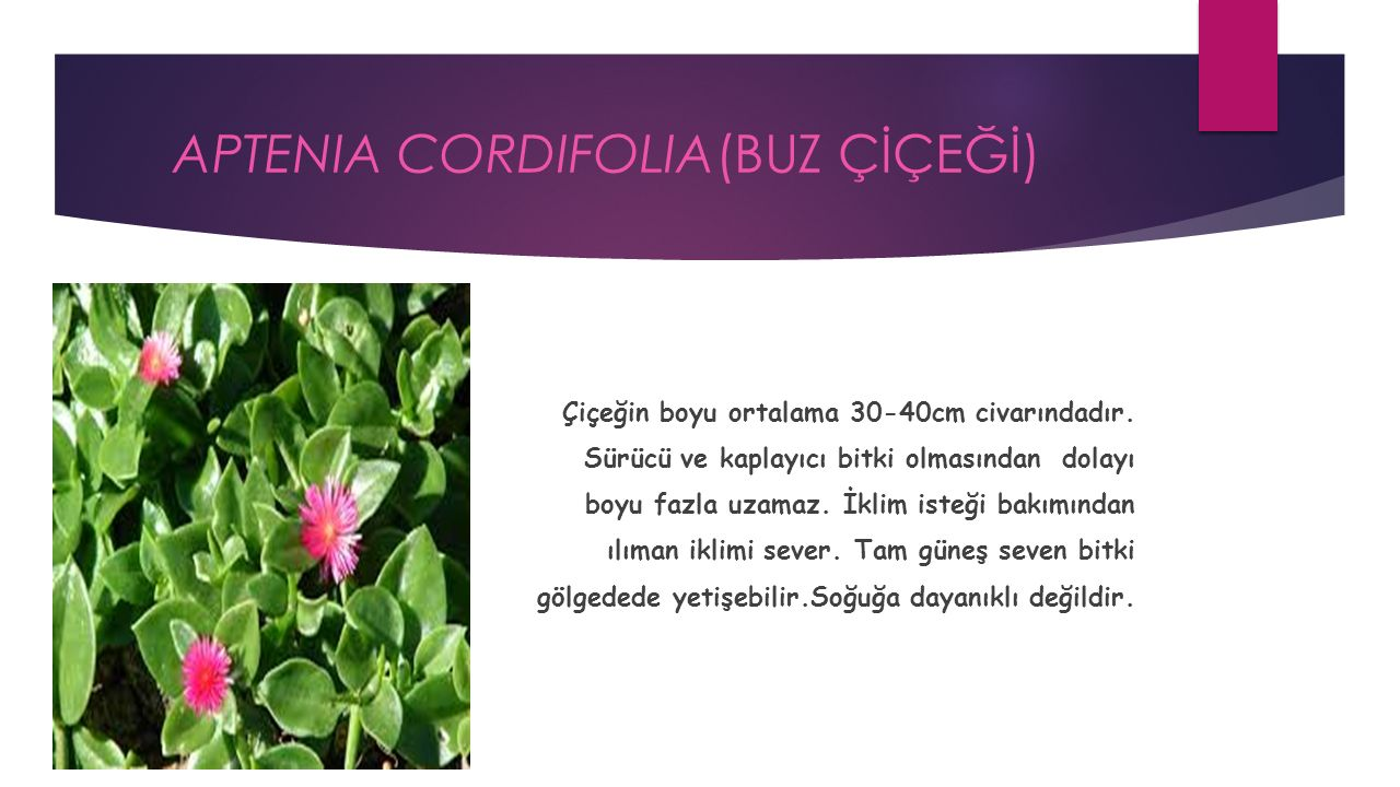 APTENIA CORDIFOLIA(BUZ ÇİÇEĞİ) Çiçeğin boyu ortalama 30-40cm civarındadır.
