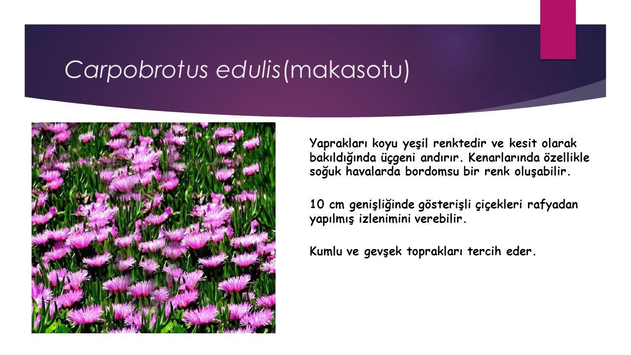 Carpobrotus edulis(makasotu) Yaprakları koyu yeşil renktedir ve kesit olarak bakıldığında üçgeni andırır.