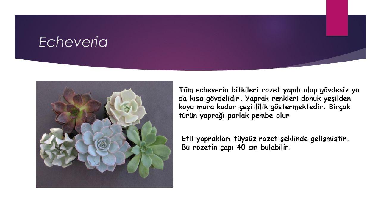 Echeveria Tüm echeveria bitkileri rozet yapılı olup gövdesiz ya da kısa gövdelidir.