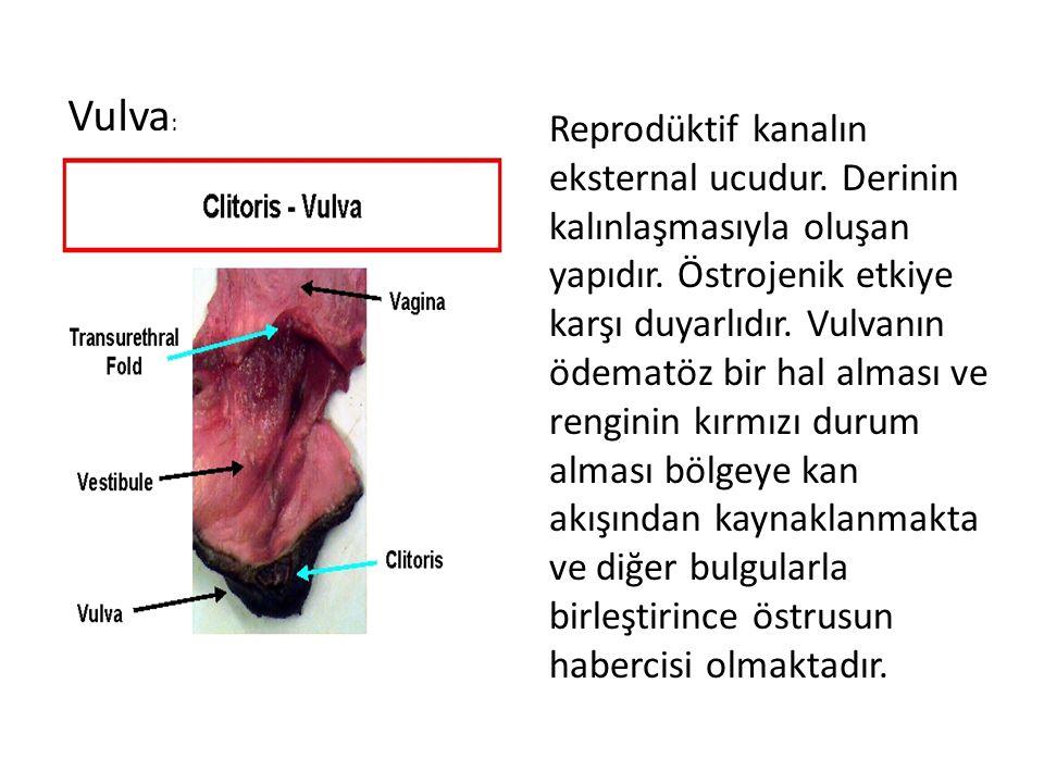Vulva ; Reprodüktif kanalın eksternal ucudur. Derinin kalınlaşmasıyla oluşan yapıdır. Östrojenik etkiye karşı duyarlıdır. Vulvanın ödematöz bir hal al