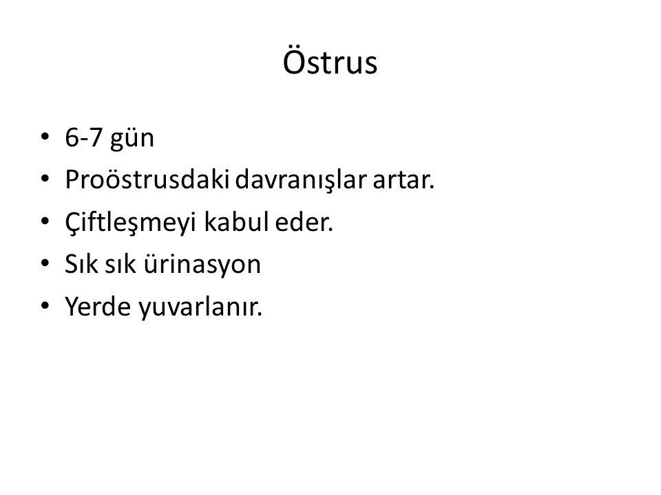 Östrus 6-7 gün Proöstrusdaki davranışlar artar. Çiftleşmeyi kabul eder. Sık sık ürinasyon Yerde yuvarlanır.