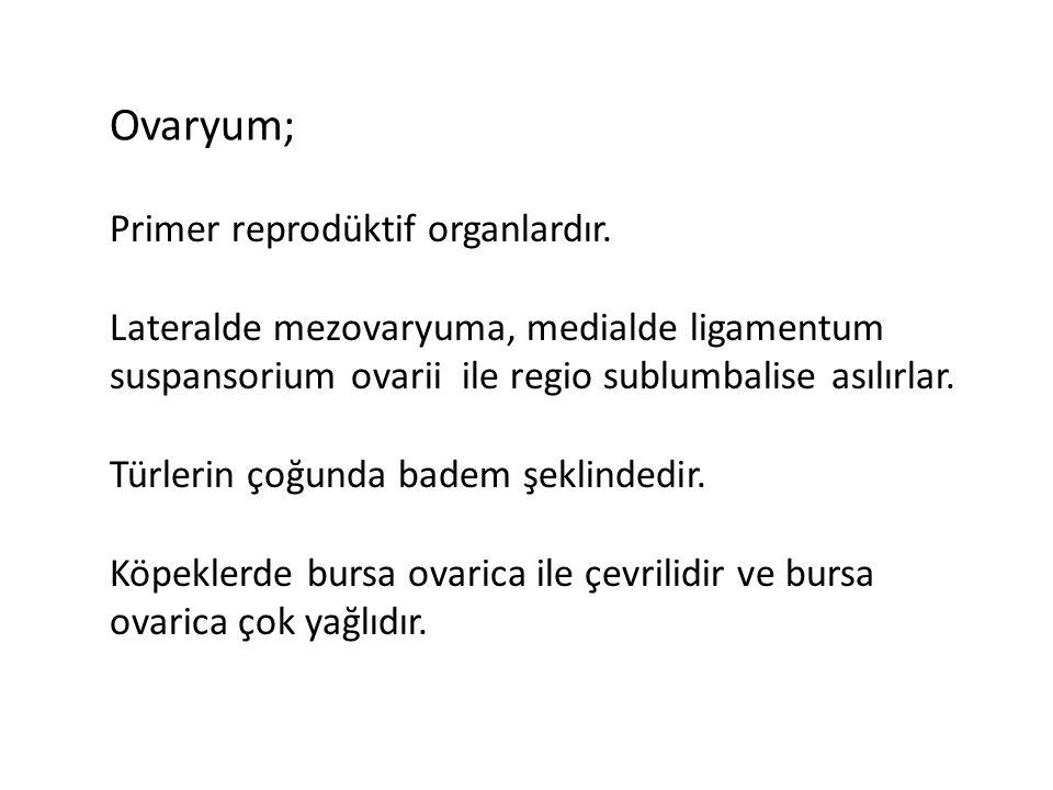 Ovaryum; Primer reprodüktif organlardır. Lateralde mezovaryuma, medialde ligamentum suspansorium ovarii ile regio sublumbalise asılırlar. Türlerin çoğ