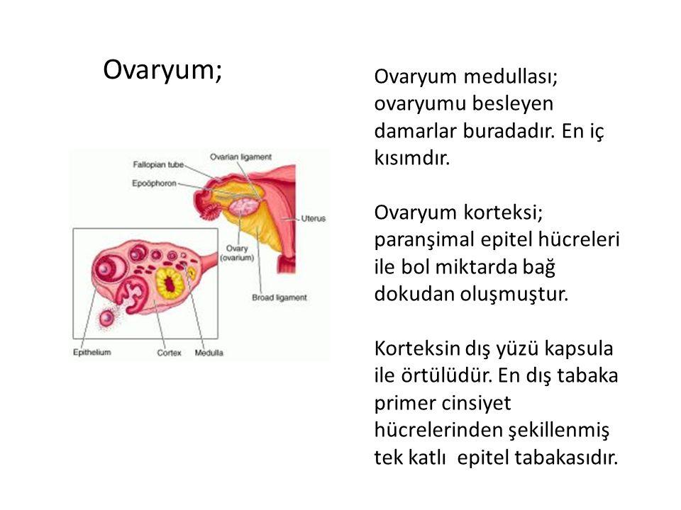 Ovaryum; Ovaryum medullası; ovaryumu besleyen damarlar buradadır. En iç kısımdır. Ovaryum korteksi; paranşimal epitel hücreleri ile bol miktarda bağ d