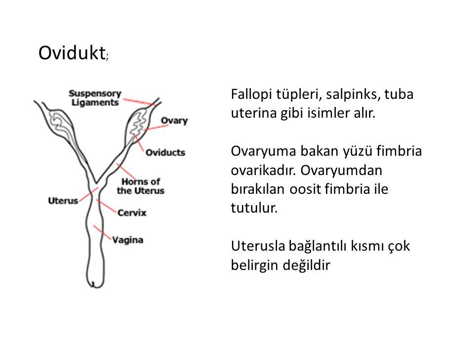 Ovidukt ; Fallopi tüpleri, salpinks, tuba uterina gibi isimler alır. Ovaryuma bakan yüzü fimbria ovarikadır. Ovaryumdan bırakılan oosit fimbria ile tu
