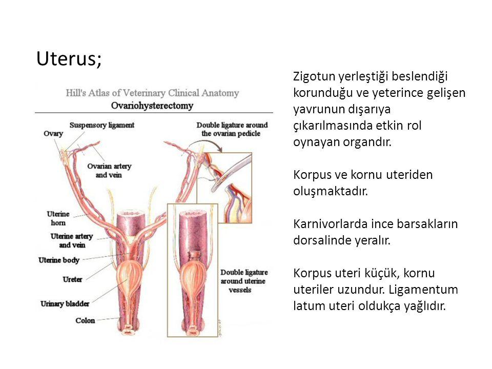 Uterus; Zigotun yerleştiği beslendiği korunduğu ve yeterince gelişen yavrunun dışarıya çıkarılmasında etkin rol oynayan organdır. Korpus ve kornu uter