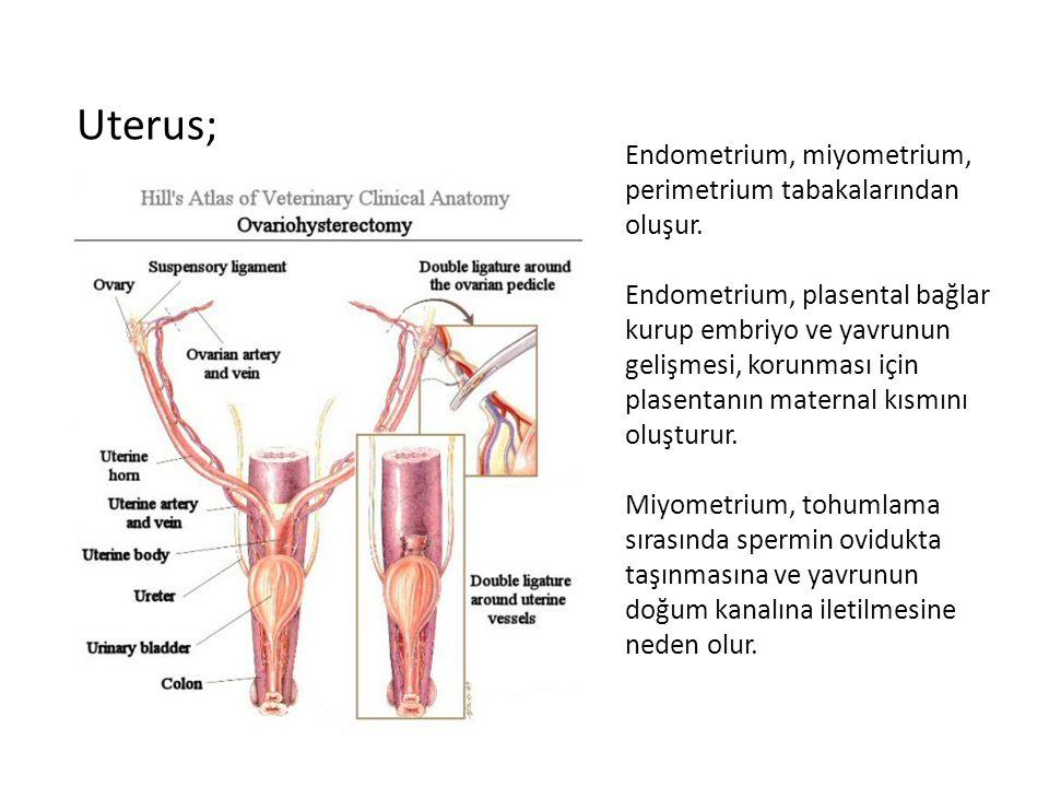 Endometrium, miyometrium, perimetrium tabakalarından oluşur. Endometrium, plasental bağlar kurup embriyo ve yavrunun gelişmesi, korunması için plasent