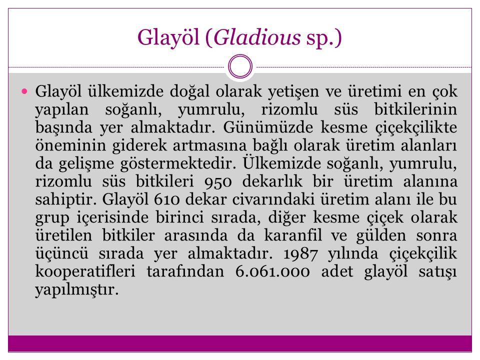 Glayöl (Gladious sp.) Glayöl ülkemizde doğal olarak yetişen ve üretimi en çok yapılan soğanlı, yumrulu, rizomlu süs bitkilerinin başında yer almaktadı
