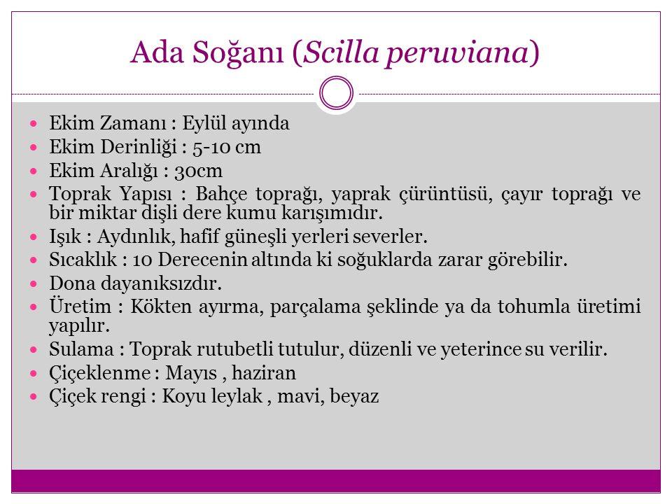 Ada Soğanı (Scilla peruviana) Ekim Zamanı : Eylül ayında Ekim Derinliği : 5-10 cm Ekim Aralığı : 30cm Toprak Yapısı : Bahçe toprağı, yaprak çürüntüsü,