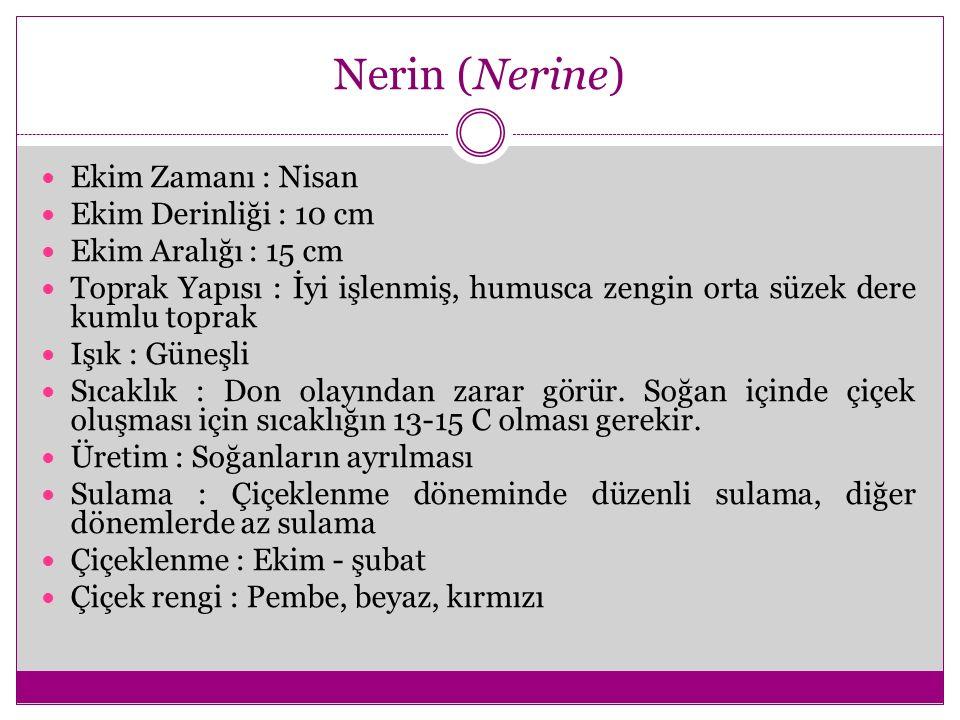 Nerin (Nerine) Ekim Zamanı : Nisan Ekim Derinliği : 10 cm Ekim Aralığı : 15 cm Toprak Yapısı : İyi işlenmiş, humusca zengin orta süzek dere kumlu topr