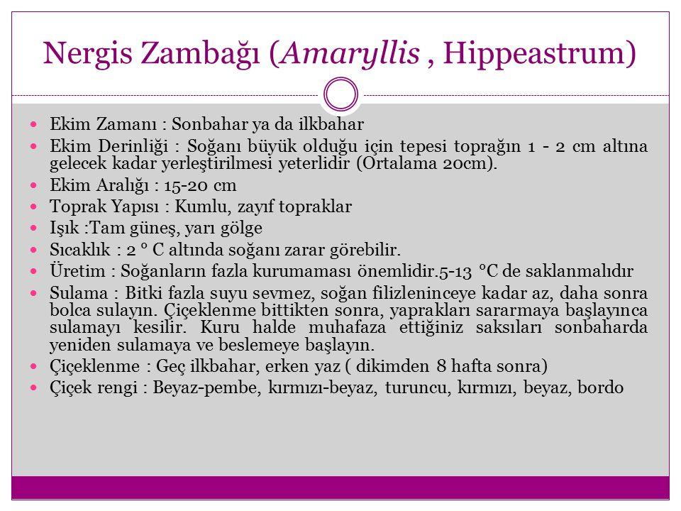 Nergis Zambağı (Amaryllis, Hippeastrum) Ekim Zamanı : Sonbahar ya da ilkbahar Ekim Derinliği : Soğanı büyük olduğu için tepesi toprağın 1 - 2 cm altın