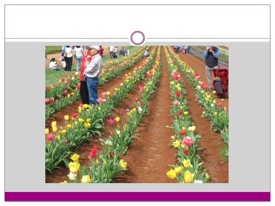 Glayöl'ün toprak üstünde 35 adet koruyucu kın yaprağı, 25 adet gerçek yaprağı, bir çiçek sapı ve çiçek sapı üzerinde kandil adı verilen çiçekleri yer almaktadır.