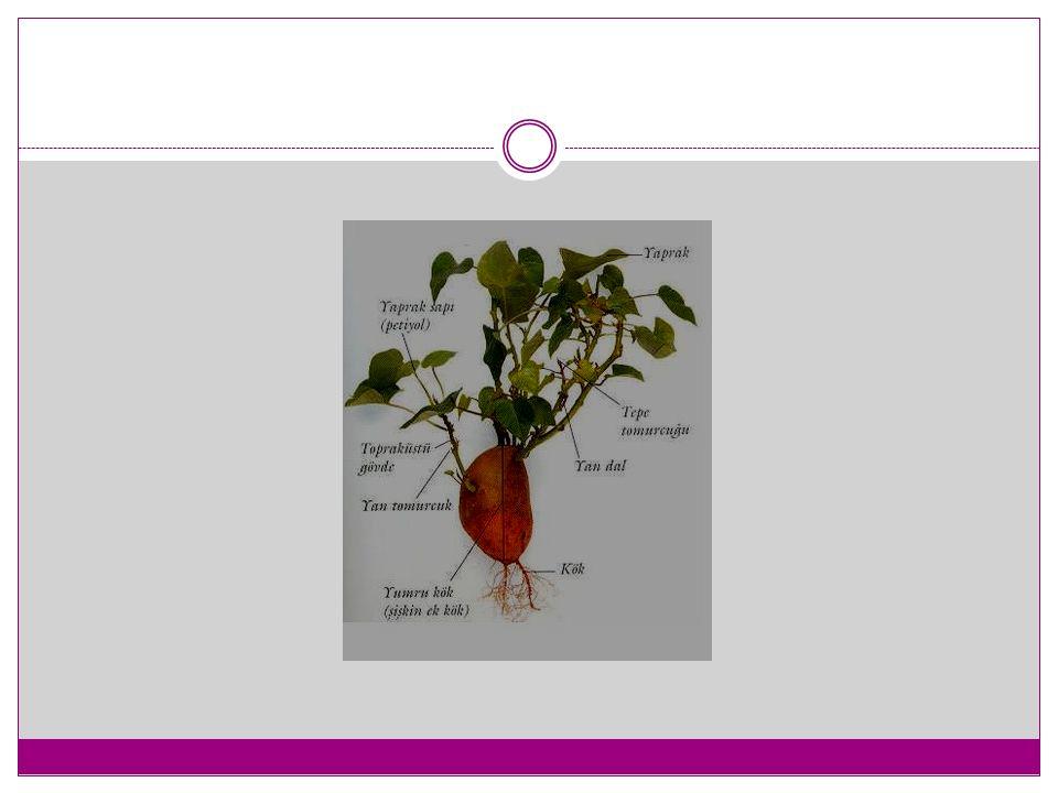 Nergis Zambağı (Amaryllis, Hippeastrum) Ekim Zamanı : Sonbahar ya da ilkbahar Ekim Derinliği : Soğanı büyük olduğu için tepesi toprağın 1 - 2 cm altına gelecek kadar yerleştirilmesi yeterlidir (Ortalama 20cm).