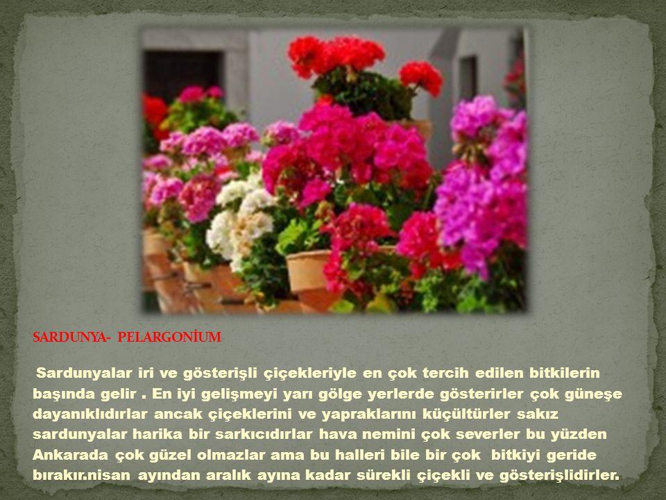 Sardunyalar iri ve gösterişli çiçekleriyle en çok tercih edilen bitkilerin başında gelir.
