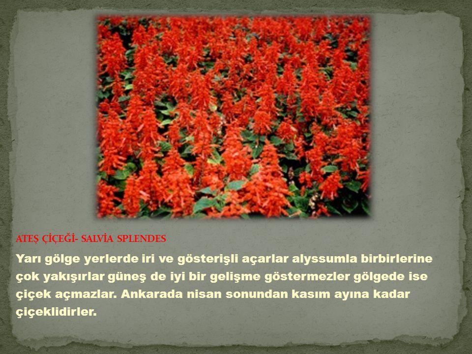 Yarı gölge yerlerde iri ve gösterişli açarlar alyssumla birbirlerine çok yakışırlar güneş de iyi bir gelişme göstermezler gölgede ise çiçek açmazlar.