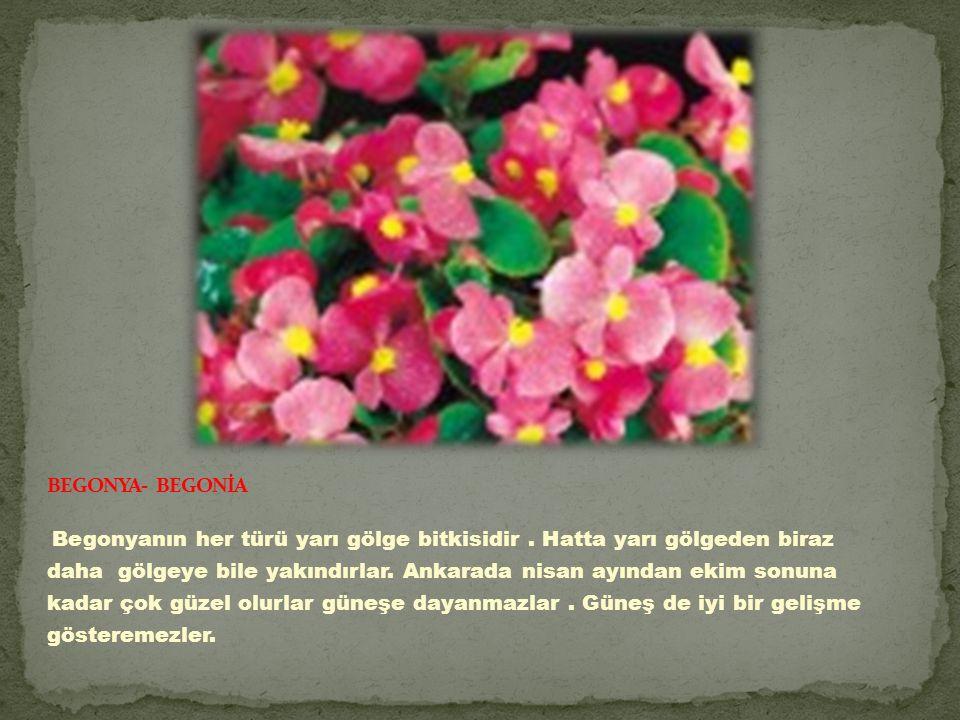 Begonyanın her türü yarı gölge bitkisidir.Hatta yarı gölgeden biraz daha gölgeye bile yakındırlar.