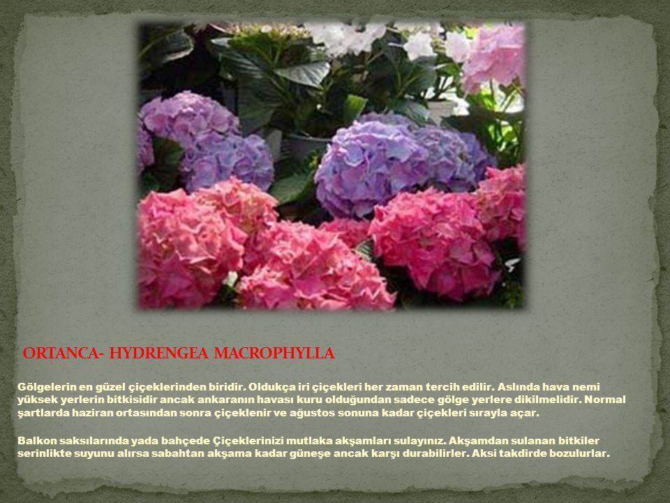 Gölgelerin en güzel çiçeklerinden biridir.Oldukça iri çiçekleri her zaman tercih edilir.