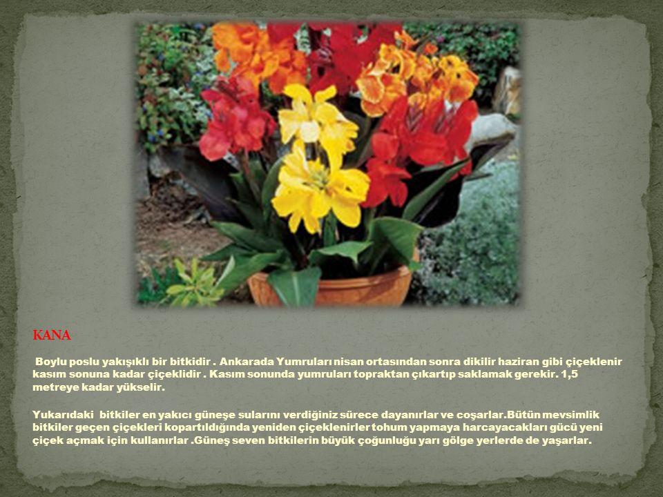 Boylu poslu yakışıklı bir bitkidir.