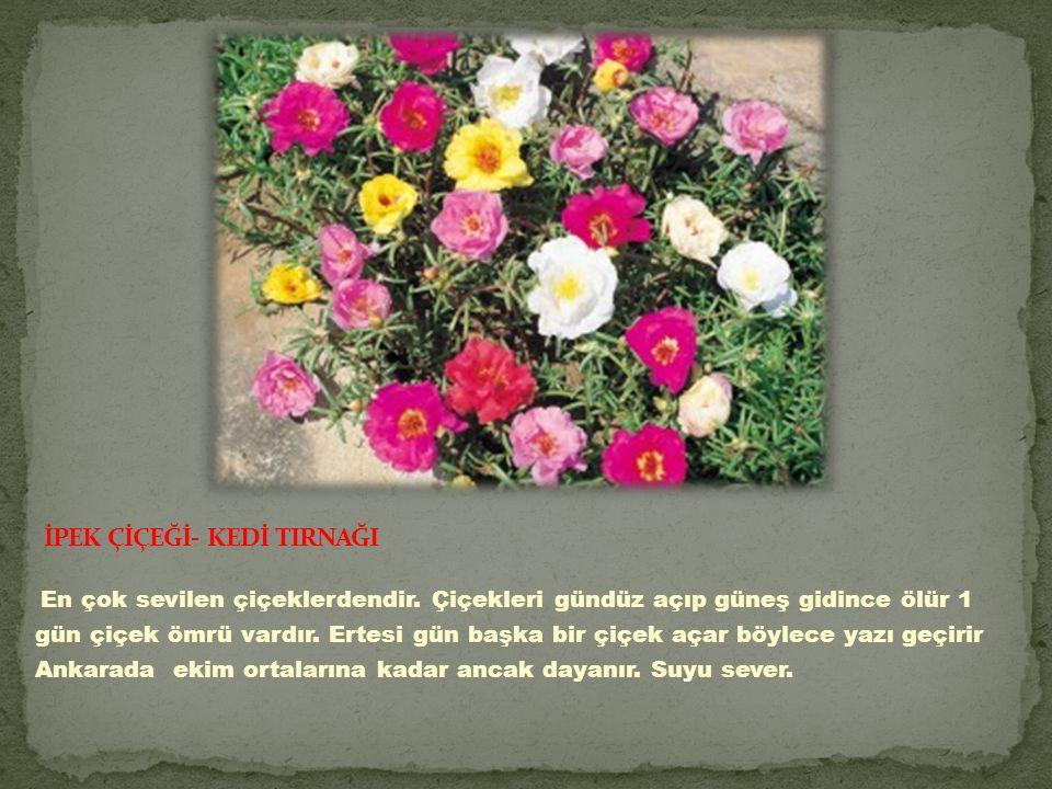 En çok sevilen çiçeklerdendir.Çiçekleri gündüz açıp güneş gidince ölür 1 gün çiçek ömrü vardır.