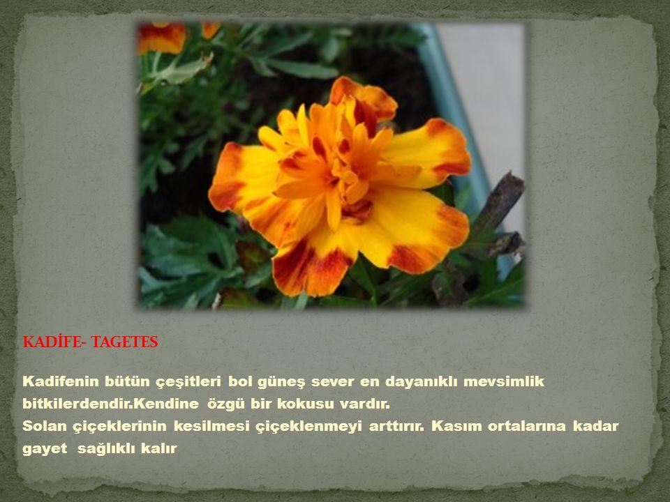 Kadifenin bütün çeşitleri bol güneş sever en dayanıklı mevsimlik bitkilerdendir.Kendine özgü bir kokusu vardır.