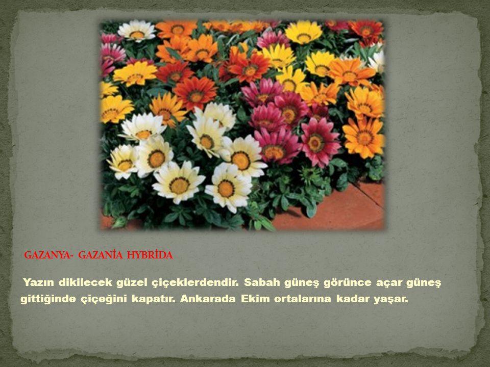 Yazın dikilecek güzel çiçeklerdendir.Sabah güneş görünce açar güneş gittiğinde çiçeğini kapatır.