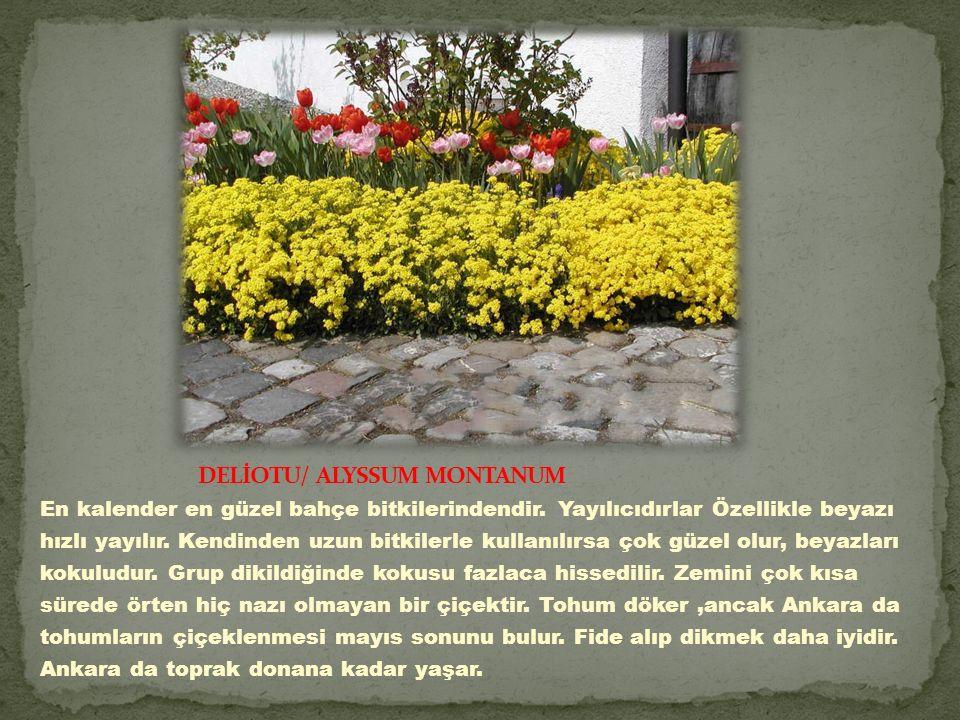 En kalender en güzel bahçe bitkilerindendir.Yayılıcıdırlar Özellikle beyazı hızlı yayılır.