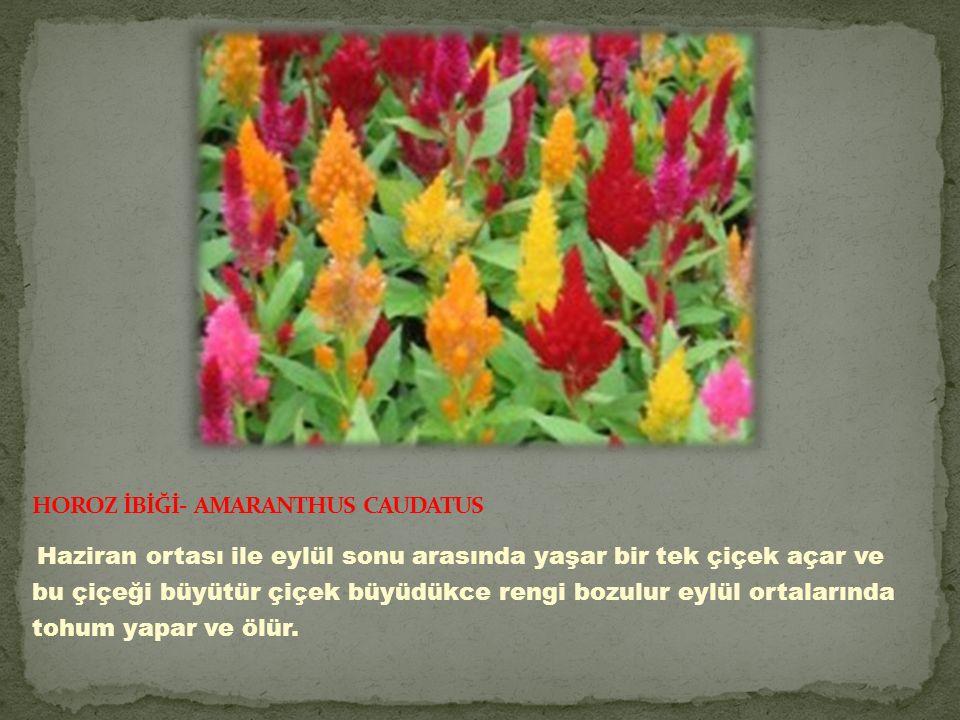 Haziran ortası ile eylül sonu arasında yaşar bir tek çiçek açar ve bu çiçeği büyütür çiçek büyüdükce rengi bozulur eylül ortalarında tohum yapar ve ölür.