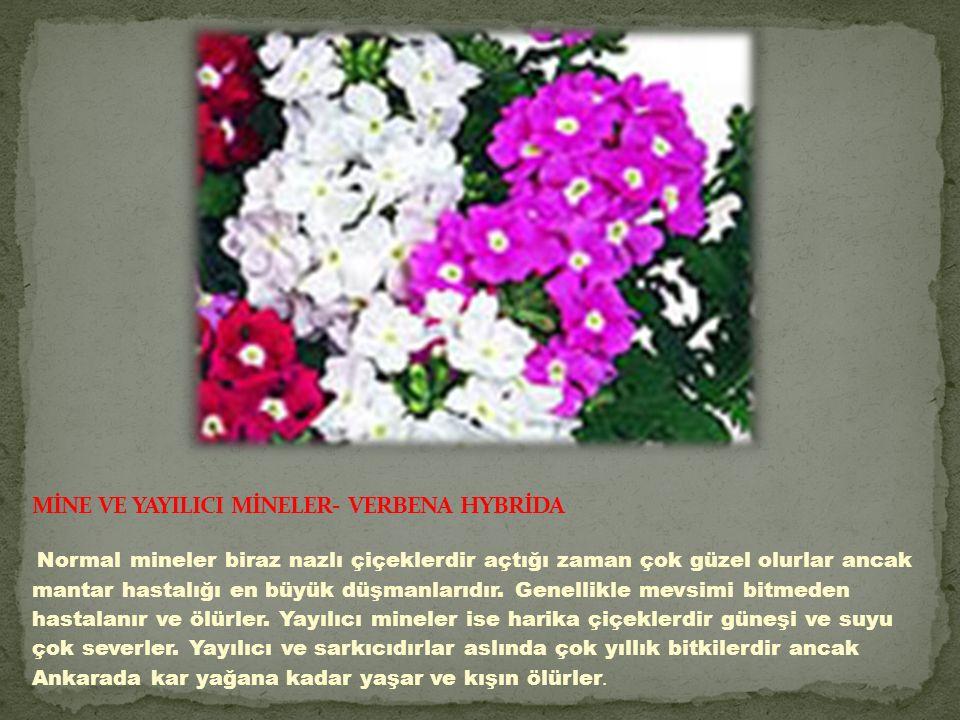 Normal mineler biraz nazlı çiçeklerdir açtığı zaman çok güzel olurlar ancak mantar hastalığı en büyük düşmanlarıdır.